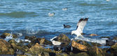 Ducks,sea gulls and pigeons on the rocky sea shore — Stock Photo