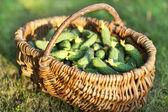 Panier en osier avec concombres frais — Photo