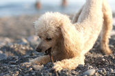 Small poodle gnawing stick — Stock Photo