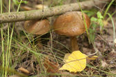 Two boletus mushroom in the autumn forest — Stock Photo