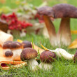 Forest ceps on a green grass — Stock Photo