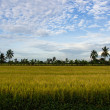 Padi Field, Nakornpathom, Thailand — Stock Photo