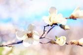 White magnolia — Stock Photo