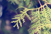 Thuja branch — Stock Photo