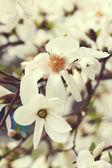 White magnolia blossom — Stock Photo
