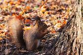 Red Squirrel in autumn forest (Sciurus vulgaris) — Stock Photo