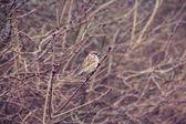 Sparrow little bird on branch — Stock Photo