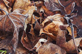 Autumn brown leaves with frost — 图库照片
