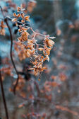 Dried hop flowers — Zdjęcie stockowe