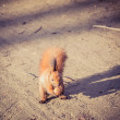 Stock Photo: Red Squirrel with walnut (Sciurus vulgaris)