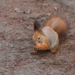 Red Squirrel with walnut (Sciurus vulgaris) — Stock Photo