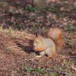 Squirrel with walnut (Sciurus vulgaris) — Stock Photo