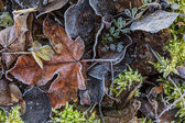 Autumn wet leaves with hoarfrost — Stock Photo