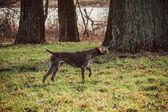 курцхаар - собака охотник — Стоковое фото