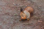 Red Squirrel with walnut (Sciurus vulgaris) — Stock Photo