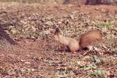 Ekorre (sciurus vulgaris) — Stockfoto