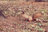 Rode eekhoorn (sciurus vulgaris) — Stockfoto