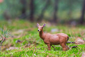 Roe deer standing in a field of grass — Stock Photo