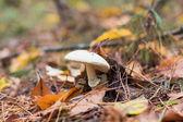 Bílá houba na podzimní les — Stock fotografie
