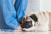 White pug is sleeping on the human leg — Stock Photo