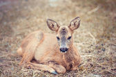 Fawn lying on the grass — Stock Photo