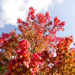 Autumn tree blue sky — Foto de Stock