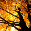 Tree in autumn sunlight — Foto de Stock