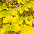 Yellow leaves — Foto de Stock