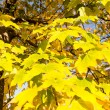 Autumn tree  yellow leaves — Foto de Stock