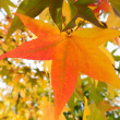 Star leaf in autumn — Foto de Stock