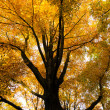 Tree in early autumn — Stock fotografie