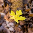 Single yellow leaf — Stock fotografie