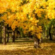 Tree with yellow leaves in autumn — Foto de Stock