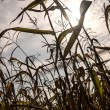 Cornfield drought — Stock Photo