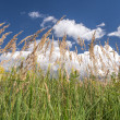 Grass in summer sky — Stock fotografie
