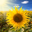 Sunflower and sunbeams — Stock Photo