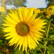 Sunflower in sun on a field — Stock Photo