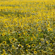 Field with sunflower — Stock Photo