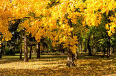 Tree with yellow leaves in autumn — Stock Photo