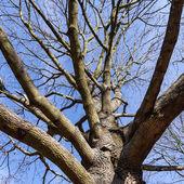 Kahler Baum — Stockfoto