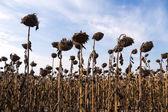Drought sunflower field — Stock Photo