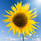 Sunflower in the blue sky — Stock Photo