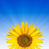 Sunflower text space — Stock Photo