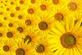 Sunflower background text space — Stock Photo