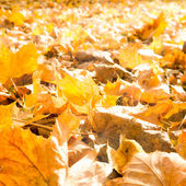 Autumn leaves in sunlight — Foto Stock