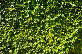 Leaves on a wall — Stock Photo