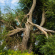 Tree after lightning strikes — Stock Photo