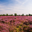 Stock Photo: Field in Lueneburg Heath