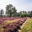 Stock Photo: Lueneburg Heath
