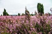 Lueneburg Heath — Stock Photo